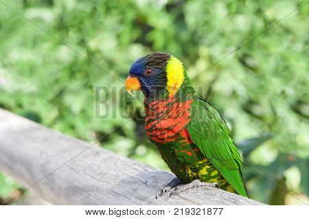 One Lorikeet sitting on a wood fence watching viewer. Lories and lorikeets are small to medium-sized arboreal parrots that eat nectar and soft fruits. Horizontal presentation.