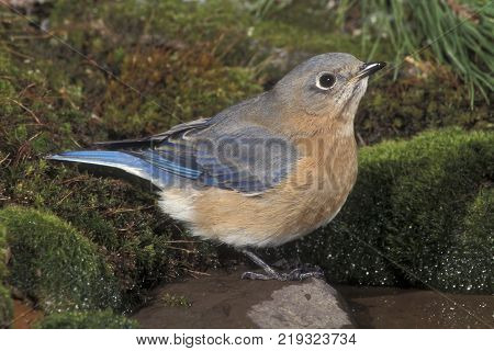 A female Eastern Bluebird, Sialia sialis at a small pond at the edge of the forest