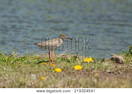 The common redshank or simply redshank (Tringa totanus) is a Eurasian wader in the large family Scolopacidae. The genus name Tringa is the New Latin name given to the green sandpiper by Aldrovandus in 1599 based on Ancient Greek trungas