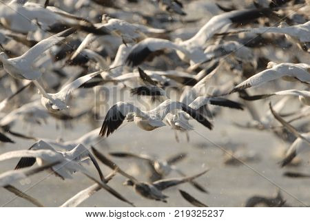 A flock of snow geese take to the air from the safety of the wetlands.