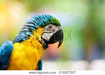Blue and yellow Macaw on the branch of tree  in Thailand.