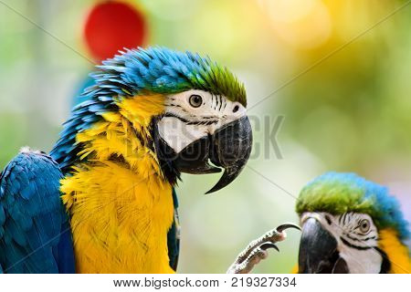 Blue and yellow Macaw on the branch of  in Thailand