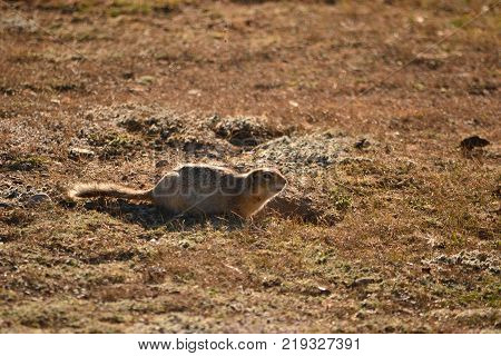 Gopher in the steppes of the Altai region