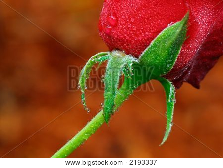 Red  Rose And Stem
