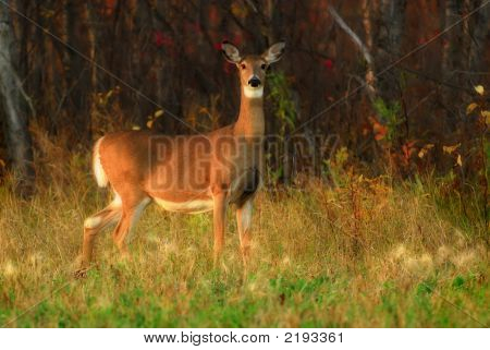 White Tailed Deer At Forest Edge