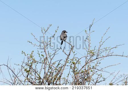 Southern Grey Shrike, Lanius meridionalis, perched on a branch. Photo taken in Colmenar Viejo, Madrid, Spain