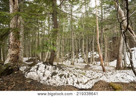 Mixed forest of conifers and hardwood trees with remaining snow in Katashina-mura, Gunma