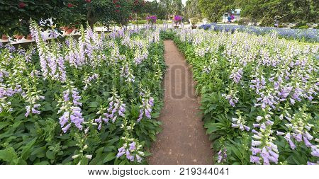 Da lat, Vietnam - November 27th, 2017: Garden foxglove with mauve flowers with purple spots such as large fields attracting tourists to visit sunny afternoon flower festival in Da Lat, Vietnam.