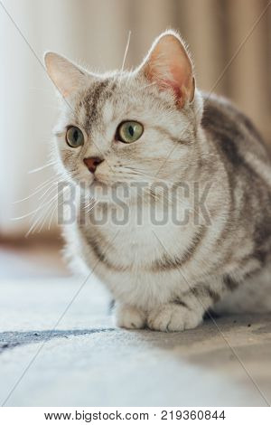 Beautiful cat - Scottish Straight breed is sitting on the floor on a cat carpet
