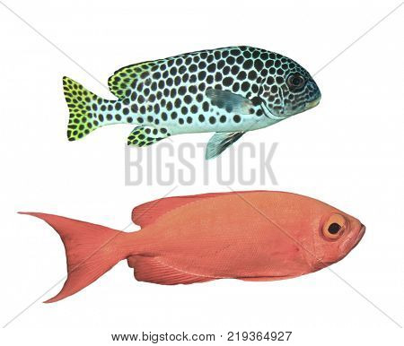 Reef fish isolated. Andaman Sweetlips and Crescent-tail Bigeye fish