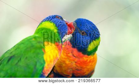 Two rainbow lorikeets also known as Trichoglossus haematodus Moluccanus exchanging food