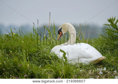 The mute swan Cygnus olor sitting on her nest hatching eggs in spring in the Netherlands