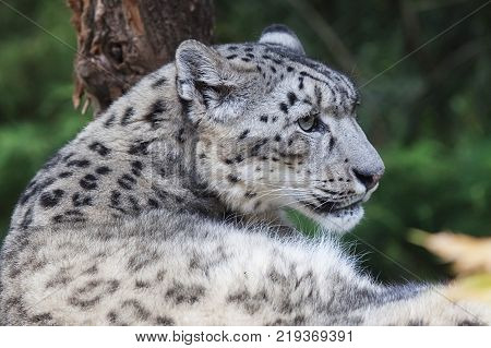 Snow leopard , Panthera uncia, magnificent animal, Hemis National Park, Kashmir, India. Wildlife scene from Asia. Detail portrait of beautiful big cat snow leopard, Panthera uncia. Animals in the rock.