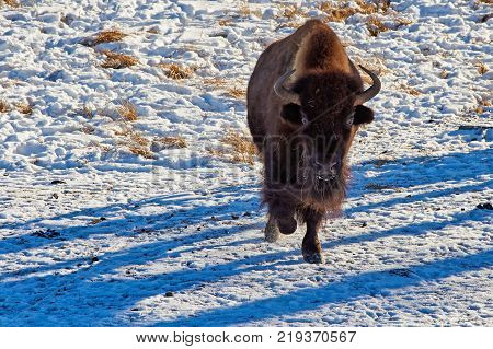 The European bison (Bison bonasus). The European bison (Bison bonasus), also known as wisent or the European wood bison, is a Eurasian species of bison. It is one of two extant species of bison, alongside the American bison.