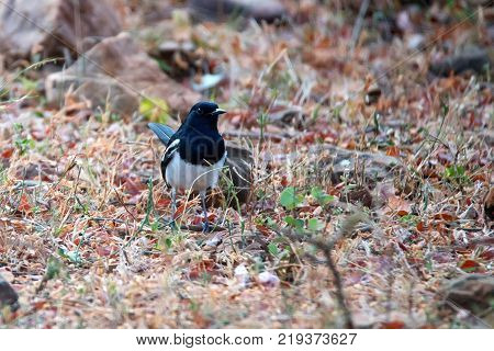 Male of oriental magpie-robin or Copsychus saularis in India