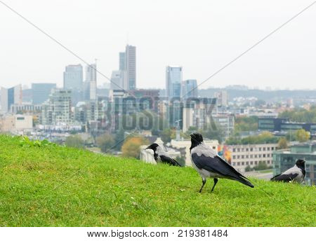 gray crows frequent visitors in European cities