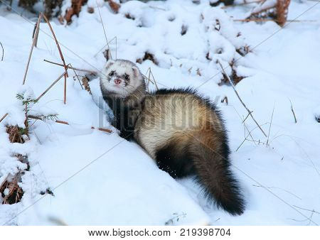 Beautiful predator - wild polecat with a fluffy tail running in the snow in the winter forest. Apparently he was in a hurry to hunt.