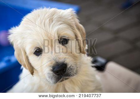 Cute little Golden Retriever Puppy outdoor shot.