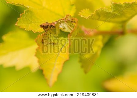 Macro of a crab spider hiding in a green leaf.
