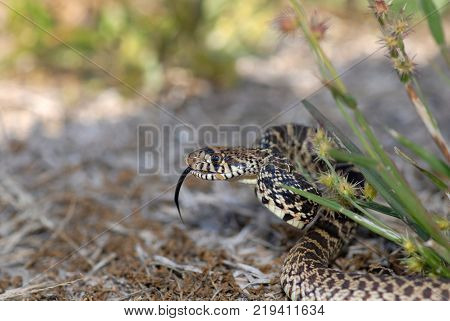 A common and harmless gopher snake from central Kansas.