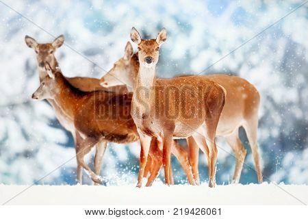 A group of beautiful female deer in the background of a snowy white forest. Noble deer (Cervus elaphus). Artistic Christmas winter image. Snowing.