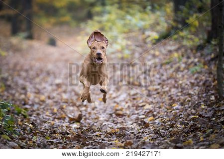 Autumn picture with pointer dog in the forrest