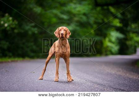 Portrait of hungarian vizsla hunter dogin spring