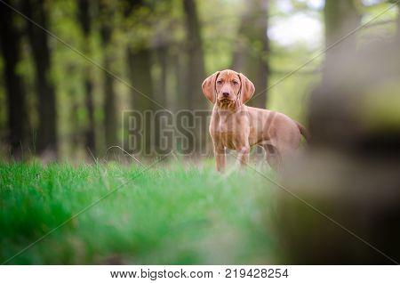 Ten week old puppy of vizsla dog in the forrest in spring time