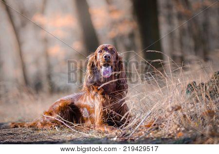 Irish setter hound pointer dog in the spring forrest