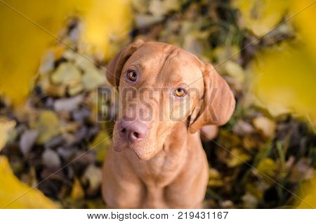 portrait of hungarian hound pointer vizsla dog in autumn time