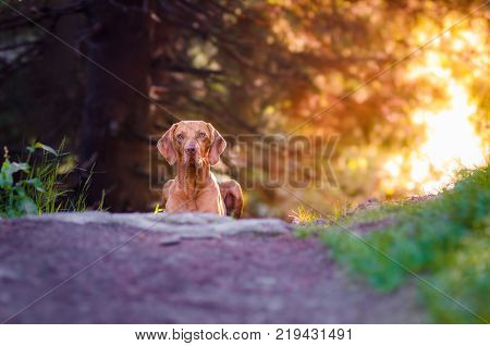Cute hungarian hound pointer vizsla doh in the morning ssummer sun on the path