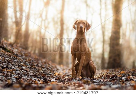 hungarian hound dog portrain in the middle of the forrest
