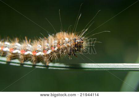 Caterpillar of Acronicta rumicis ( Knot Gras )