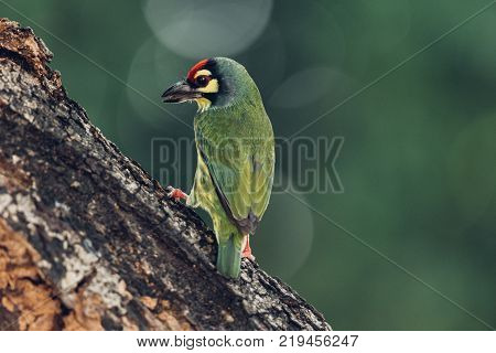 Bird (Streaked weaver Ploceus manyar) males brown white and yellow color perched on a tree in a nature wild poster