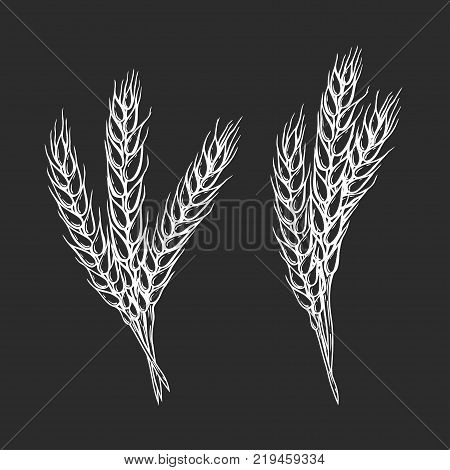 Set Hand drawn Wheat bread ears cereal crop sketch vector illustration. White ear isolated on black background. Gluten food ingredient engraving retro vintage style.