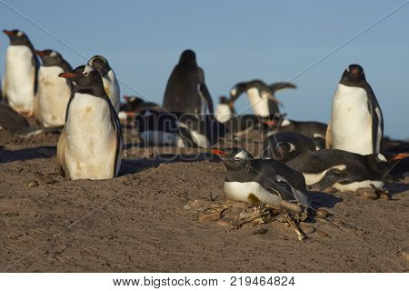 Breeding colony of Gentoo Penguins Pygoscelis papua at the The Neck on Saunders Island in the Falkland Islands.
