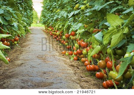 Path Among Ripe Tomatoes In A Greenhouse