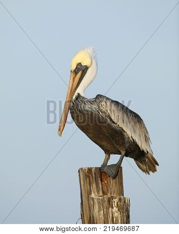Immature Brown Pelican Perched On A Dock Piling - Florida