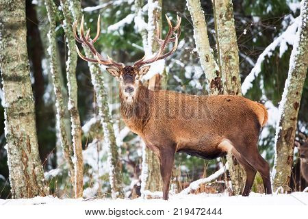 Single adult noble deer with big beautiful horns in winter forest with snow. European wildlife landscape with snow and deer with big antlers