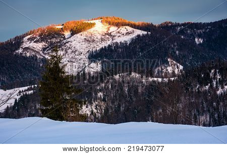 sunrise in forested winter mountains. beautiful scenery with spruce tree on a snowy