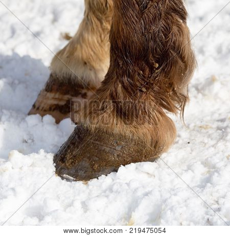 horse hoof in the snow in the winter .