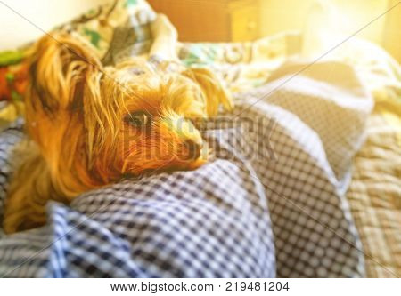 A closeup of my Yorkshire Terrier laying on my bed in pajamas with sunglare from a window.
