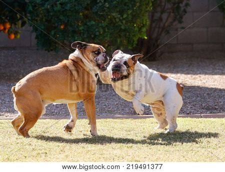 Two English Bulldogs wrestling and playing on the grass