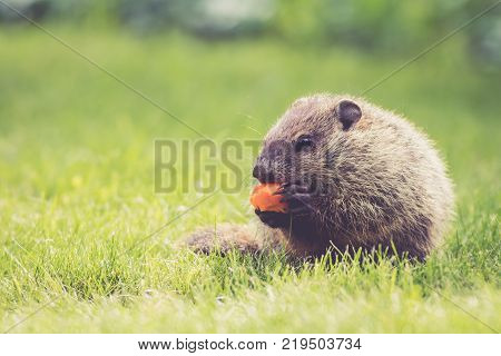 Young Groundhog (Marmota Monax) sitting and eating a carrot in the green grass