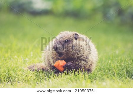 Young Groundhog (Marmota Monax) holding a half-eaten carrot with mouth wide open