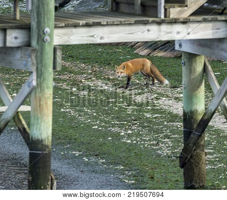 Resident urban carnivore--fox foraging below dock on rocky beach covered with seaweed