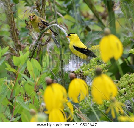 American gold finch sitting on a thistle