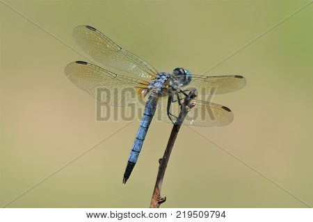 blue dasher dragonfly Pachydiplax longipennis insect detail