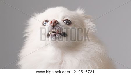 White Pomeranian dog get angry over white background