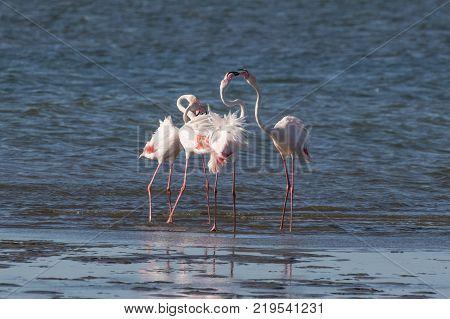 A group of greater flamingos head-flagging at the Walvis Bay Lagoon, Namibia